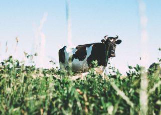 production laitière